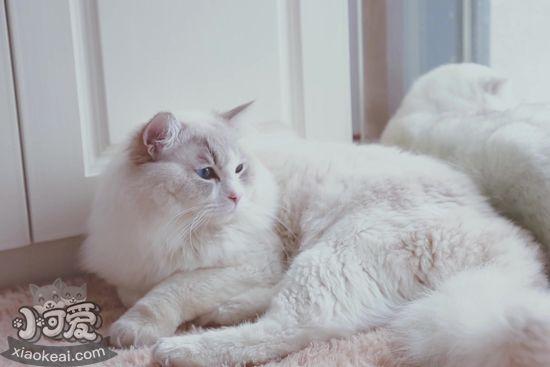 布偶猫为什么要绝育 布偶猫绝育的原因1