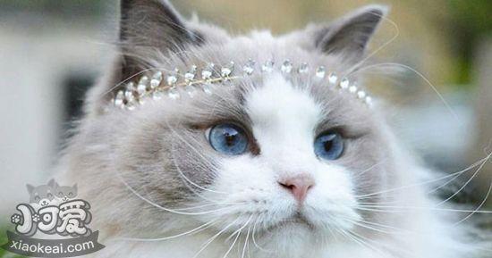 布偶猫为什么要绝育 布偶猫绝育的原因2