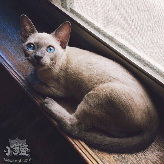 怎么根据暹罗猫的尾巴来知道它的情绪?_暹罗猫尾巴尖折尾