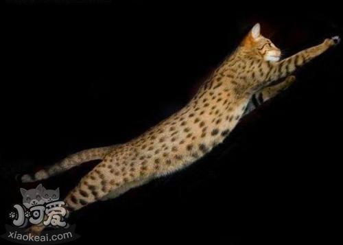 阿舍拉猫不会用猫抓板 阿舍拉猫猫抓板使用训练