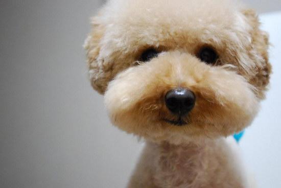 两三个月的泰迪怎么训练 泰迪犬训练教程详解1
