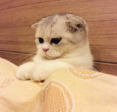 折耳猫怎么治疗猫癣 猫藓治疗注意事项