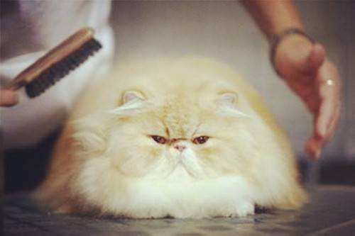 猫咪为什么会有毛球症 猫咪毛球症形成的原因