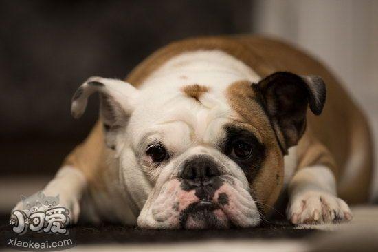 老年法斗怎么照顾 老年法国斗牛犬养护注意事项1