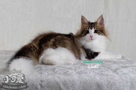 挪威森林猫产后缺钙怎么办 产后缺钙症状及治疗方法
