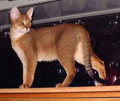 非洲狮子猫