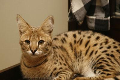 麒麟猫是什么品种图片
