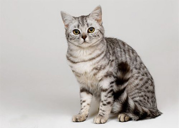 美国短毛猫