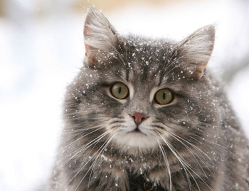 麒麟猫是什么猫图片