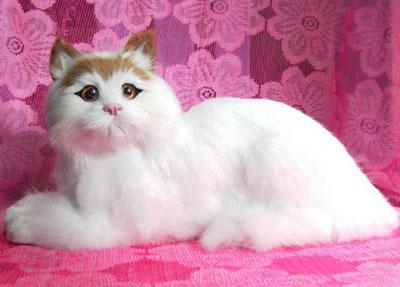 暹罗猫怎么读图片