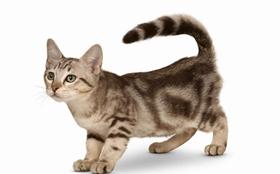 澳大利亚雾猫总是流泪怎么回事 猫咪流泪原因介绍