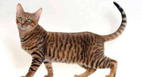 玩具虎猫厌食怎么治疗 厌食治疗方法