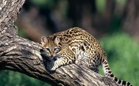 豹猫毛囊炎怎么治疗 毛囊炎治疗方法