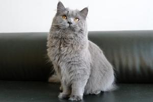 英国长毛猫什么时候绝育好 英国长毛猫绝育最佳时间