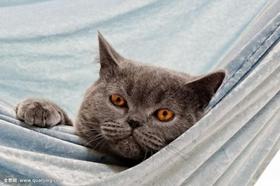 卡尔特猫得了猫瘟怎么办 猫瘟治疗方法