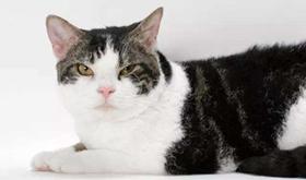 美国刚毛猫传染性腹膜炎如何治疗
