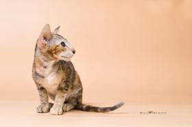 东方猫有狂犬病吗 大部分猫咪都有狂犬病