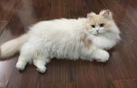 英国长毛猫患了结膜炎怎么办 结膜炎解决办法