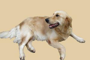 金毛犬怎样预防皮肤病