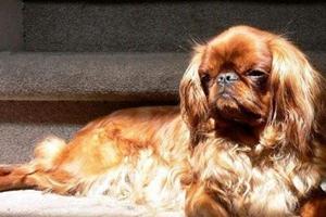 英国玩具猎鹬犬得了口腔炎怎么治疗