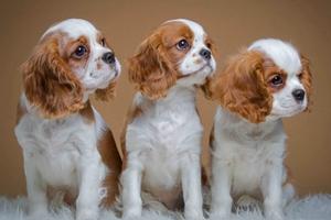 西班牙小猎犬感冒如何治疗 西班牙小猎犬感冒治疗方法