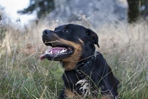 罗威纳犬患上精神疾病怎么办 精神疾病治疗办法