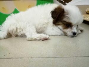 犬冠状病毒症状怎么治疗
