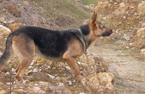 比利时特伏丹犬蛔虫病怎么治 蛔虫病治疗方法