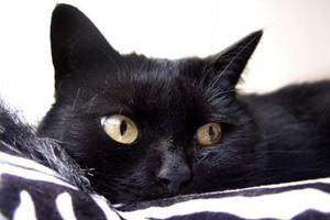 孟买猫和黑猫的区别方法
