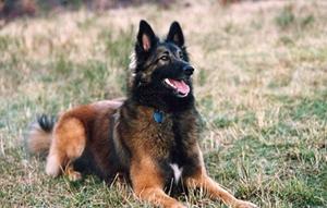 比利时特伏丹犬扭伤怎么办 比利时特伏丹犬扭伤解决办法