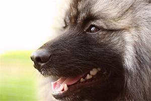 荷兰毛狮犬消化不良吃什么药 消化不良解决办法
