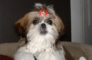拉萨犬患皮肤病怎么治 拉萨犬皮肤病治疗方法