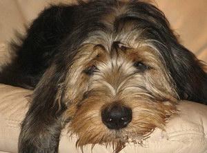 猎水獭犬有寄生虫怎么处理 奥达猎犬寄生虫预防方法