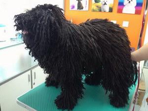 波利犬得了犬瘟怎么办 波利犬犬瘟热治疗方法