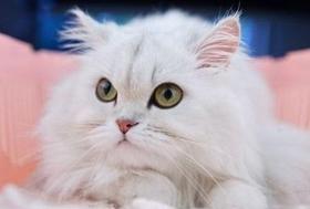 金吉拉猫怎么洗耳朵 金吉拉猫洗耳朵步骤