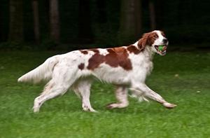 爱尔兰红白雪达犬咳嗽怎么办 咳嗽治疗方法