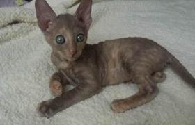 柯尼斯卷毛猫尿血怎么办 柯尼斯卷毛猫尿血治疗方法