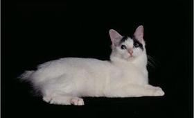 日本短尾猫视网膜炎有什么症状 视网膜炎症状介绍