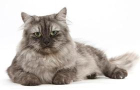 缅甸猫毛囊炎如何治疗 毛囊炎治疗方法