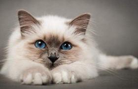 巴厘猫眼睛红肿糜烂怎么治疗 眼睛红肿糜烂治疗方法