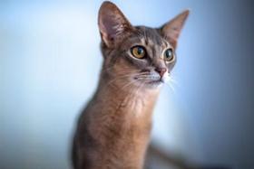 阿比西尼亚猫尿道炎怎么办 尿道炎治疗方法