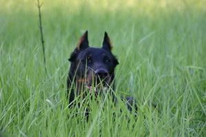 法国狼犬发烧怎么解决 法国狼犬发烧处理方案