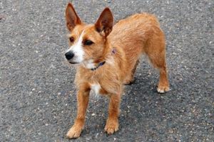 葡萄牙波登可犬呕吐怎么办 呕吐原因及治疗方法