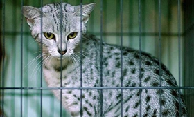 被埃及猫抓伤怎么治疗 猫咪抓伤治疗方法