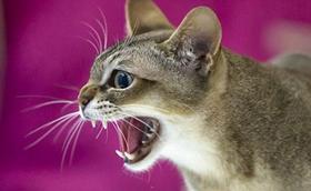如何判断新加坡猫健康 是否有传染病判断方法