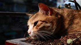 威尔斯猫干呕怎么回事 威尔斯猫干呕原因分析