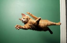 缅因猫为什么会打喷嚏 缅因猫打喷嚏原因介绍