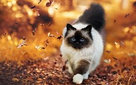 暹罗猫的铜缺乏症怎么治疗 铜缺乏症治疗方法