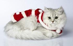 褴褛猫发烧吃什么药 猫咪几度算发烧