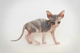 加拿大无毛猫呕吐怎么办 斯芬克斯猫呕吐原因